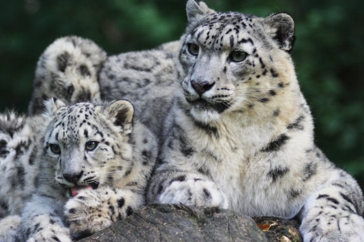 Spectre of extinction haunts ghost of mountains – snow leopards