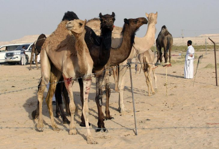 Qataria again: Saudi Arabia deports Qatari camels and sheep as diplomatic feud continues
