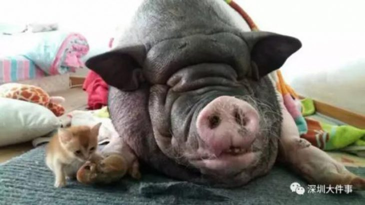 Chinese family forced to move six times because of huge pet pig's snoring