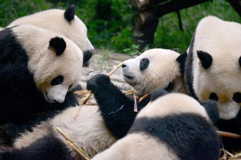 China has a new facial recognition app — this time for pandas